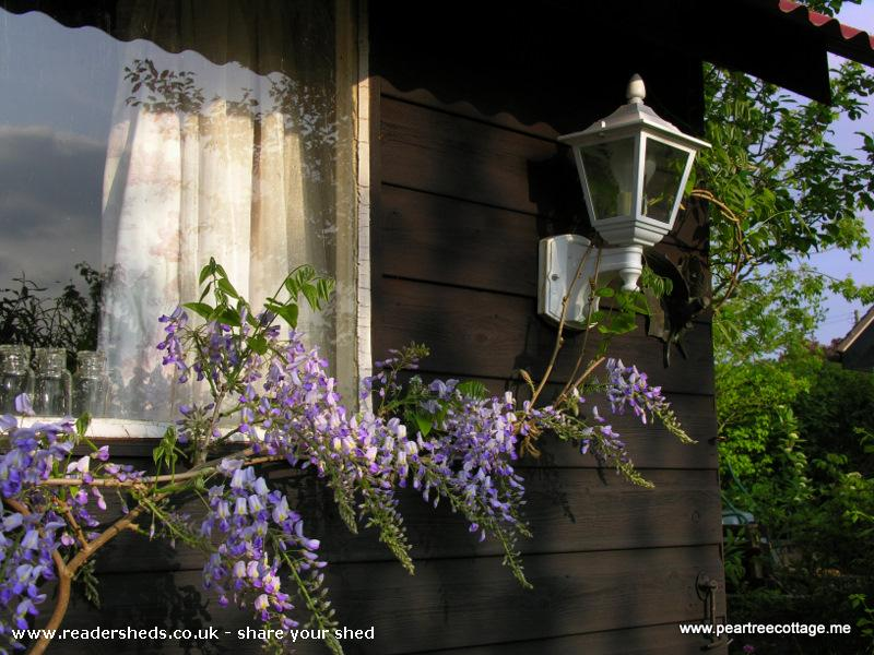 Photo of 'The Studio', entry to Shed of the year-Home grown Wisteria