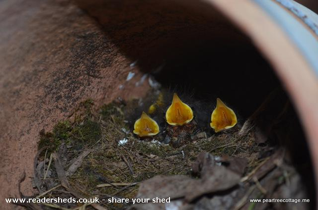 Photo of 'The Studio', entry to Shed of the year-Baby robins in a studio flower pot!